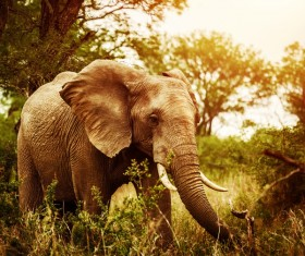 Elephant walking in the jungle Stock Photo