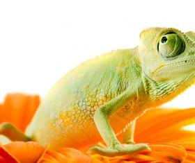Flower in the chameleon Stock Photo 01