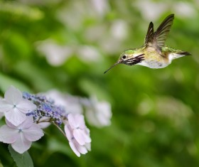 Hummingbird feeds nectar HD picture 01
