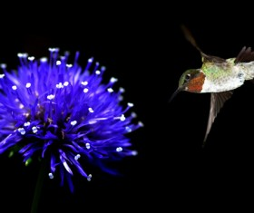 Hummingbird feeds nectar HD picture 02