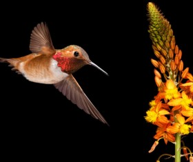 Hummingbird feeds nectar HD picture 14