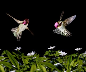 Hummingbird feeds nectar HD picture 15