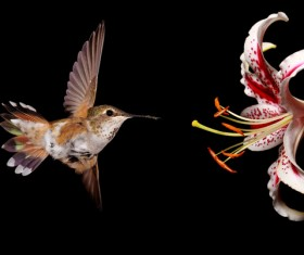 Hummingbird feeds nectar HD picture 16