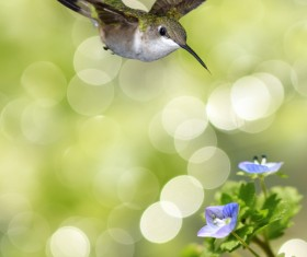 Hummingbird feeds nectar HD picture 17