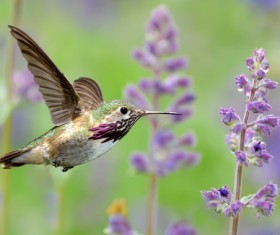 Hummingbird feeds nectar HD picture 18