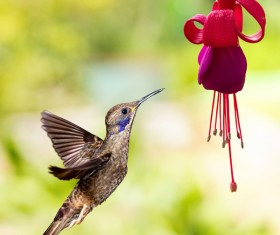 Hummingbird feeds nectar HD picture 19