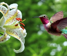Hummingbird feeds nectar HD picture 20