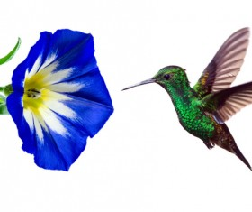 Hummingbird feeds nectar HD picture 21