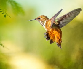 Hummingbird feeds nectar HD picture 22