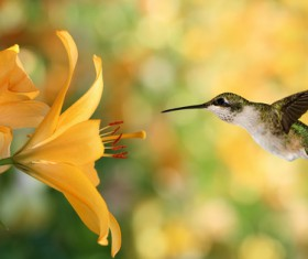 Hummingbird feeds nectar HD picture 23