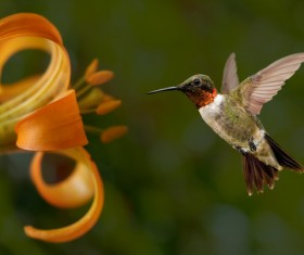 Hummingbird feeds nectar HD picture 24