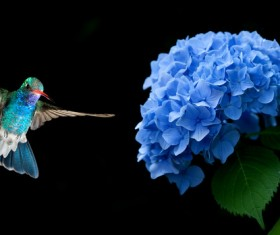 Hummingbird hovering on Hydrangea HD picture