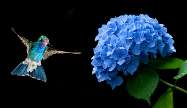hummingbird hovering on hydrangea hd picture free download