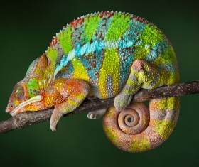 Sleeping Chameleon Stock Photo