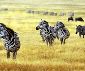 Zebra on the African savannah Stock Photo