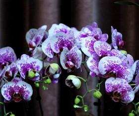 Beautiful Phalaenopsis flowers Stock Photo