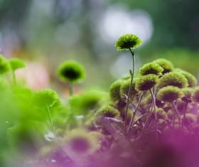 Beautiful green chrysanthemum Stock Photo