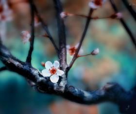 Beautiful plum blossoms Stock Photo