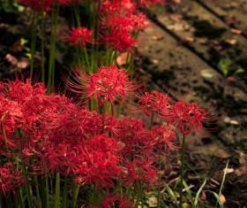 Beautiful red Bana Stock Photo 01