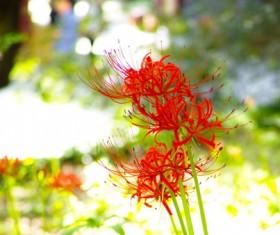 Beautiful red Bana Stock Photo 03