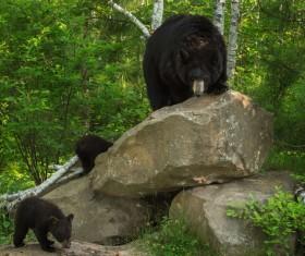 Black bear and cub Stock Photo