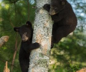 Black bear cubs climbing trees Stock Photo