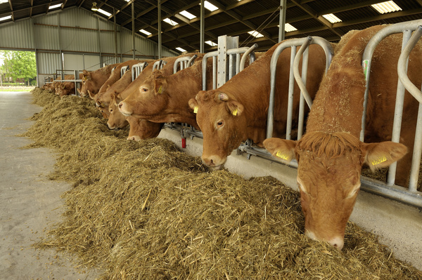 Cattle eat feed Stock Photo