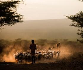 Cattle shepherd Stock Photo
