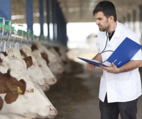 Check the cattle healthy people Stock Photo