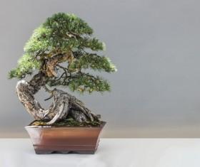 Cypress bonsai Stock Photo