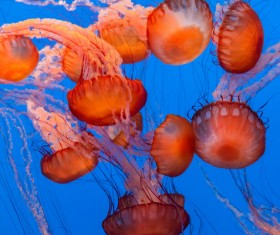 Deep red jellyfish HD picture