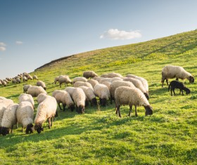 Grassland flock Stock Photo