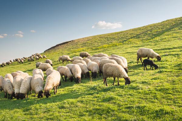 Grassland flock Stock Photo
