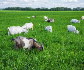 Grazing goat Stock Photo