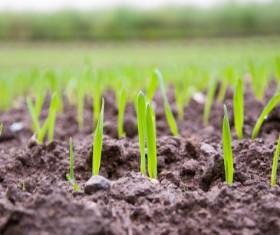 Growing wheat seedling Stock Photo