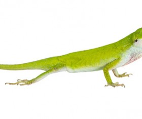 Jade Lizard Stock Photo