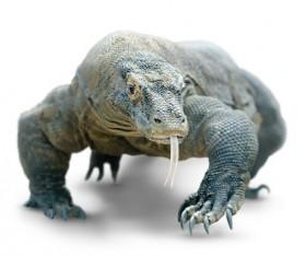 Komodo dragon lizard Stock Photo