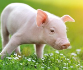 Little pig on the grass Stock Photo