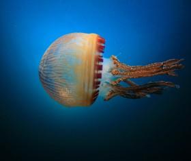 Mosaic jellyfish HD picture