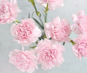 Pale pink carnation Stock Photo