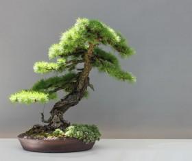 Pine bonsai Stock Photo