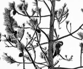 Pine woodpecker
