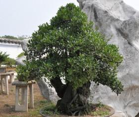 Plant bonsai HD picture