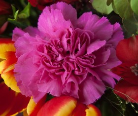 Purple Carnations Stock Photo