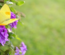 Purple flowers with yellow butterfly HD picture