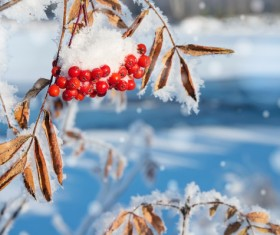 Red berries on the branch Stock Photo