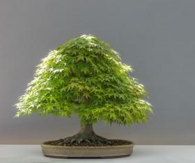 Red maple bonsai Stock Photo