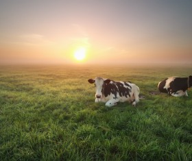 Sunset meadow Cows Stock Photo