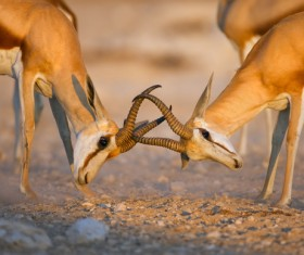 The battle between animals HD picture 04