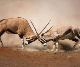The battle between animals HD picture 05